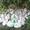 Саженцы березы обыкновенной #1651685