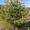 Саженцы сосны обыкновенной #1651684