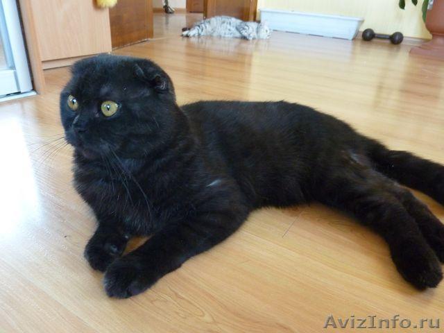 Вислоухий черный кот