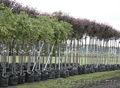 саженцы декоративных деревьев и кустарников из питомника