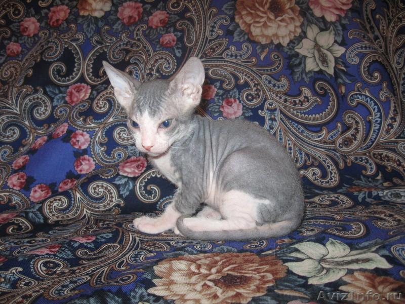котенок фото сфинкс #12