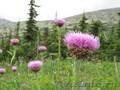 Семена левзеи,  родиолы,  пиона,  черемши,  медуницы,  липы,  лиственницы...