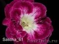Комнатные цветы: фиалки,  глоксинии,  пеларгонии