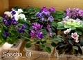 Комнатные цветы: фиалки, глоксинии, пеларгонии - Изображение #6, Объявление #945201