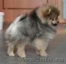 Симпатичные щенки померанского шпица