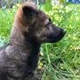 Даром милый щенок 2 месяца